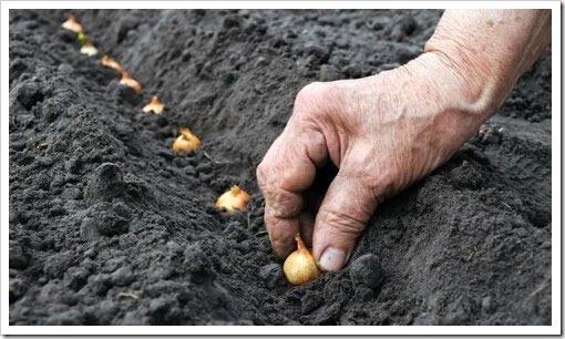 Как высаживать лук-севок?
